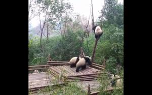 To dlatego pandy są zagrożone wyginięciem
