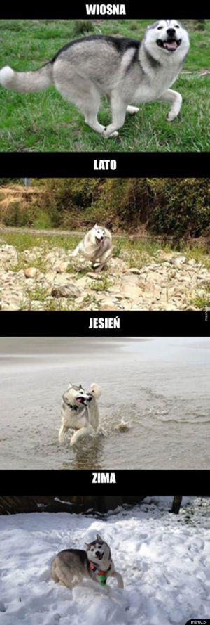 Husky jest zawsze szczęśliwy