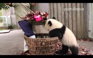 Panda vs niania