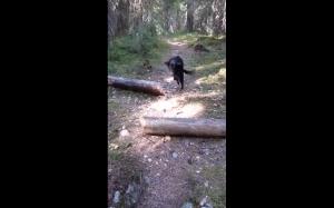15-letni pieseł skacze przez kłodę