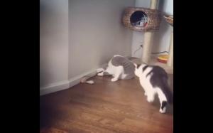 Brutalna walka dwóch kotów