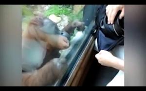 Orangutan robi inspekcję torebki