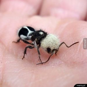 Trochę panda, trochę mrówka