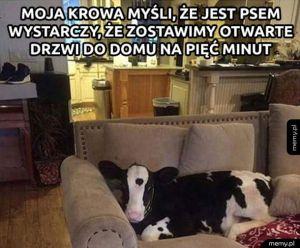 Krowa, która myśli, że jest psem