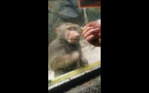 Jak sprawić, żeby małpa zwariowała: