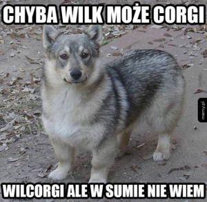 Wilcorgi