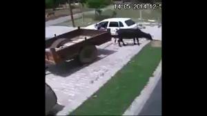 Jak ukraść byka