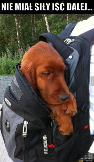 Pies plecakowy
