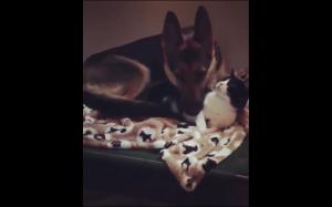 Pies używa kota jak poduszki