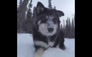 Pieseł kocha śnieg
