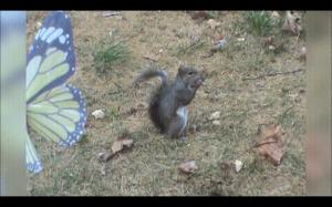 Ta wiewiórka musi jeść bardzo dobre orzechy