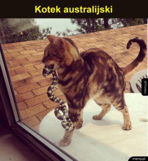 No witam - Kotek australijski