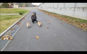 Psi rydwan